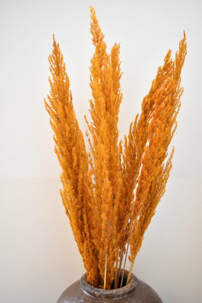 Pampas Oranje