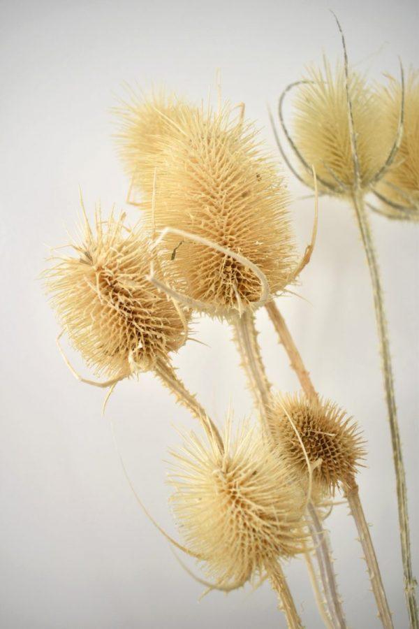 losse droogbloemen interieur tips kaardebol