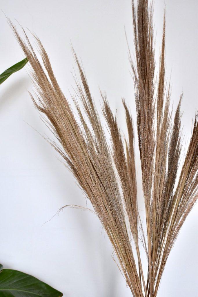 pampas grassen kopen