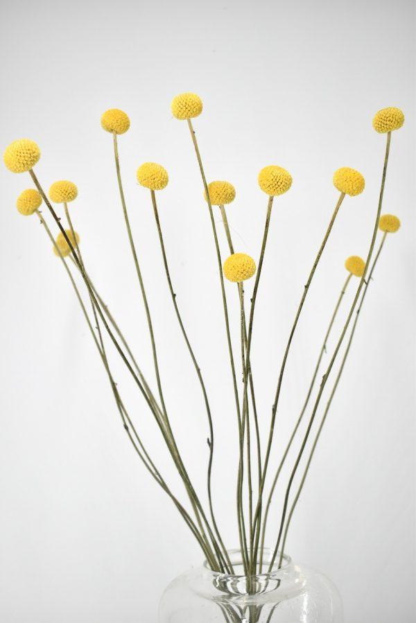 losse droogbloemen craspedia